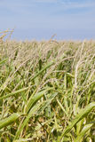 Maize crop Stock Photo