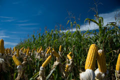Maize Crop Royalty Free Stock Photography