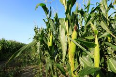 Maize crop at farm. Maize crop in growth at farm Stock Photos