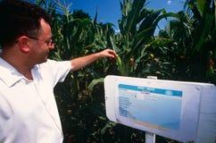 Maize crop at a farm in Kosovo. Stock Image