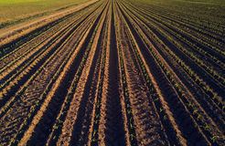 Maize crop field in perspective. Drone pov Royalty Free Stock Photos