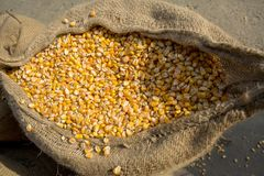 Maize crop, Gorpara, Manikgonj, Bangladesh. Maize in Bangladesh at most Third important cereal after rice and wheat. New crop: 3100 ha in 1900, 10000 ha in 1995 Royalty Free Stock Photography
