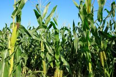 Maize crop in growth. At farm Stock Photo
