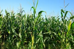 Maize crop in growth. At farm Stock Photos
