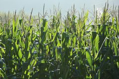 Maize crop in growth at farm. At the foot of mountain Royalty Free Stock Photo