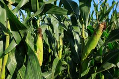 Maize crop in growth. At farm Stock Photography