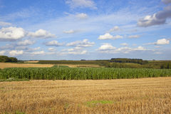 Maize crop at harvest time Royalty Free Stock Photography