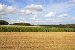 Maize crop and wheat stubble Royalty Free Stock Photography