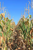 Maize Crops Royalty Free Stock Photo