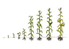 Maize Development Diagram - stages of growth Royalty Free Stock Photos