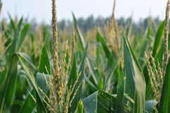 Maize Royalty Free Stock Image