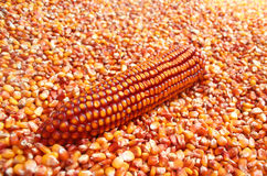Maize ear in corn grain pile Royalty Free Stock Photo