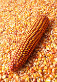 Maize ear in corn grain pile Stock Photography