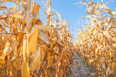 Maize ear on stalk in corn field Royalty Free Stock Images