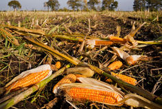 Maize ears left on field Stock Images