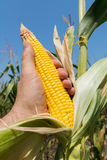 Maize in farmers hand on field Stock Photo