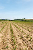 Maize field Royalty Free Stock Image