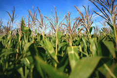 Maize Field Royalty Free Stock Images