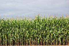 Maize field Stock Images