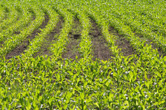 Maize field Stock Image