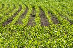 Maize field Stock Image