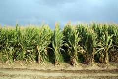 Maize Field Stock Photos