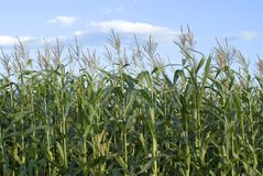 Maize field. A maize field in summmer time Royalty Free Stock Image