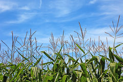 Maize field and blue sky. Stock Photography