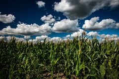 Maize field and clouds stock photo