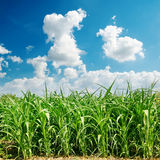 Maize field and clouds Royalty Free Stock Photography