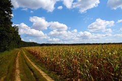 Maize field in countryside Royalty Free Stock Images