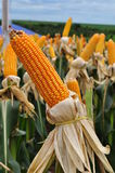 Maize field day. In maize field days, the companies present the results from new varieties Stock Images