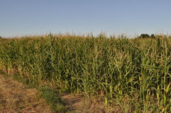 Maize field during dry season Royalty Free Stock Photos