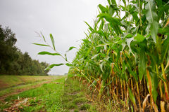 Maize field. The edge of a field with tall Maize plants Royalty Free Stock Images