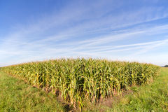 Maize field Royalty Free Stock Photography