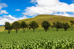 Maize Field Green Trees Mountains. Young Maize crop growing well in the summer season. The horizontal picture image of the maize crops in the field with a line Royalty Free Stock Photo