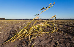 Maize field after harvest Royalty Free Stock Images