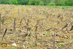 Maize field Royalty Free Stock Photos