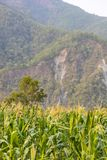 Maize field in hilly region royalty free stock photography
