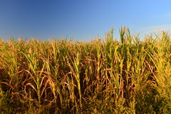 Maize field in hot dry summer Royalty Free Stock Images
