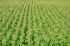 Maize field intercrop paddy Royalty Free Stock Photos