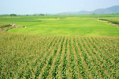 Maize field intercrop paddy. Viietnamese agricultural field at Daklak, Vietnam, vast maize field intercrop with paddy plant, good crop on plantation Stock Image