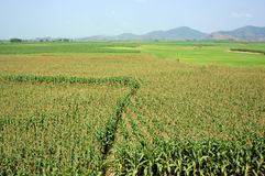 Maize field intercrop paddy. Viietnamese agricultural field at Daklak, Vietnam, vast maize field intercrop with paddy plant, good crop on plantation Stock Images