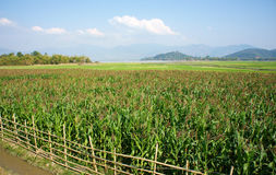 Maize field intercrop paddy. Viietnamese agricultural field at Daklak, Vietnam, vast maize field intercrop with paddy plant, good crop on plantation Royalty Free Stock Images
