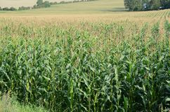 Maize Field. In a sloped landscape Royalty Free Stock Image