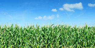 Maize field panorama against blue sky Stock Images