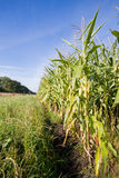 Maize field Stock Photo