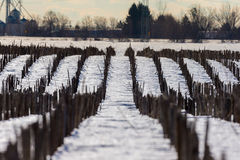 Maize field pictured in January in central Quebec. Royalty Free Stock Photography