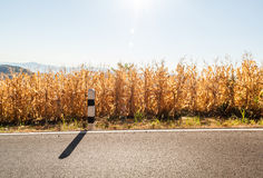 Maize field is a plant cultivated for food alongside the road. The road is at Nan province, countryside of Thailand Stock Photography