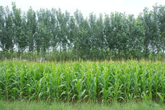 Maize field and poplars Royalty Free Stock Photos